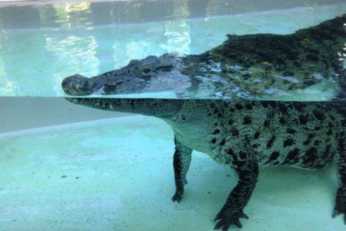 熱川バナナワニ園の水中のワニ