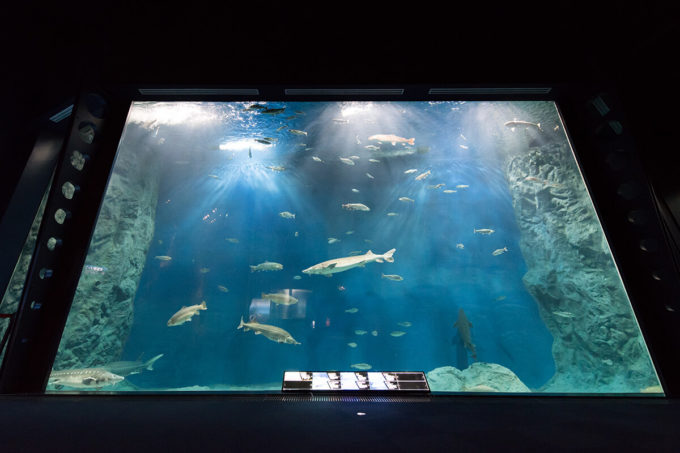サケのふるさと千歳水族館の大水槽