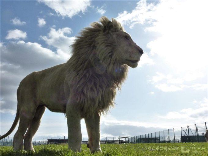 岩手サファリパークのホワイトライオン