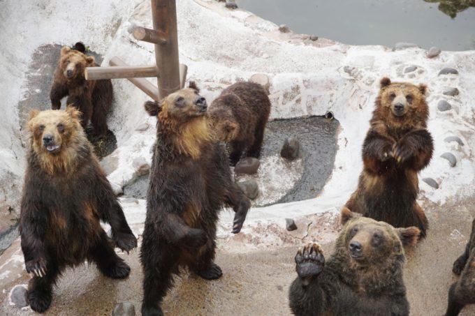 のぼりべつクマ牧場のエサを欲しがる熊(くま)