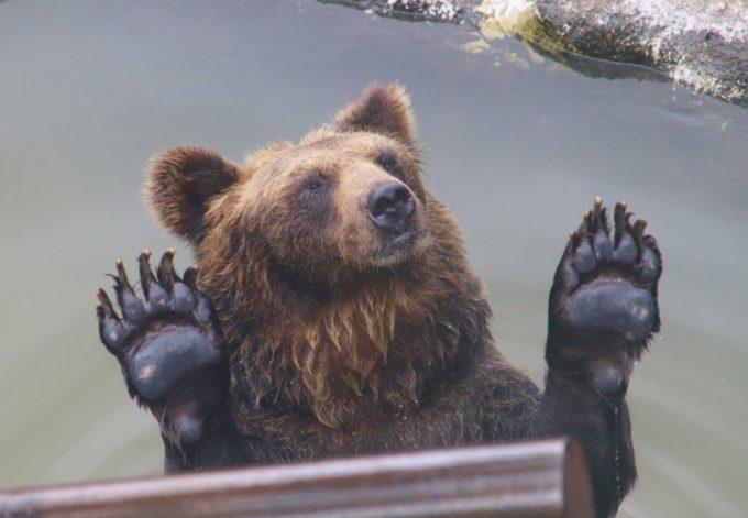 のぼりべつクマ牧場の熊(くま)