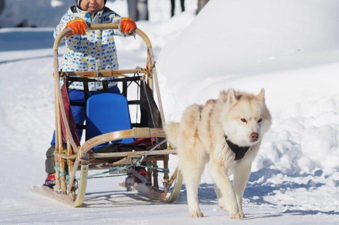 ノースサファリサッポロの犬ぞり体験