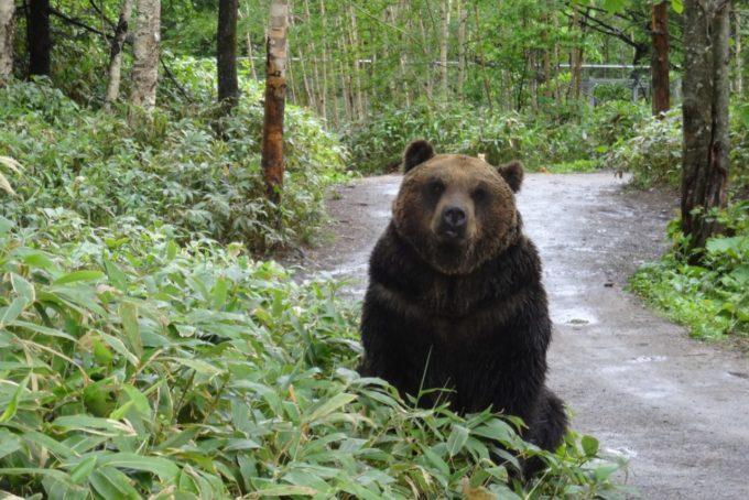 サホロリゾート ベア・マウンテンのクマ(ヒロタケ)