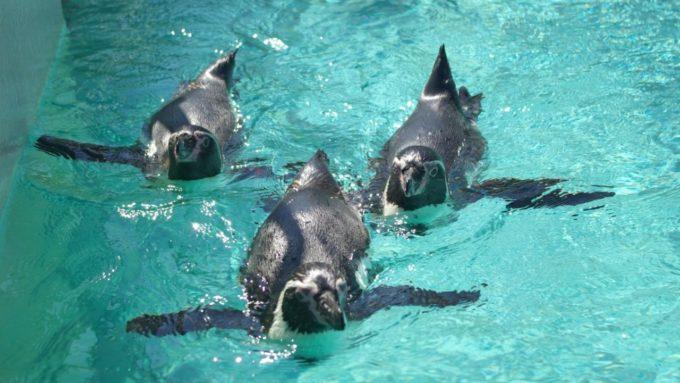下田海中水族館のペンギン