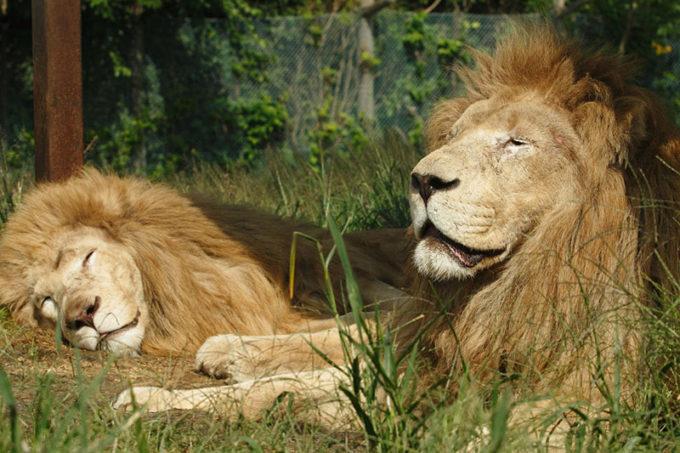 東北サファリパークのライオン