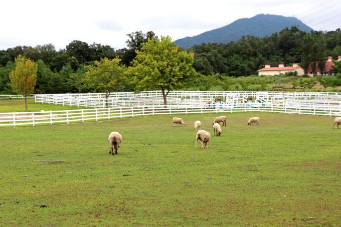 滋賀農業公園ブルーメの丘の羊