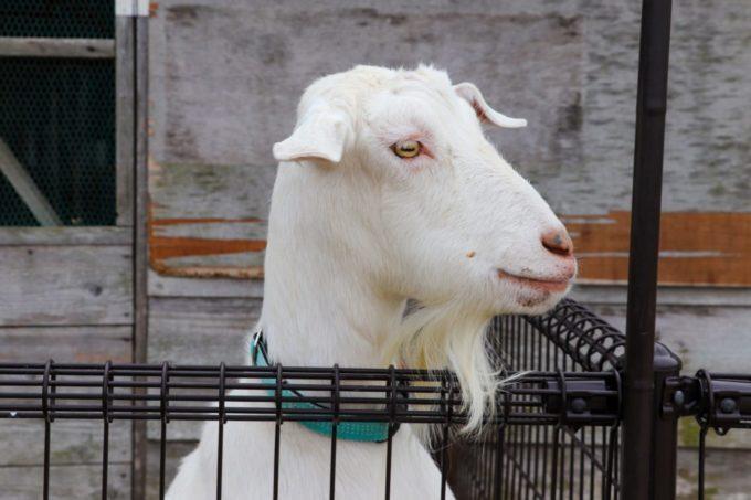 堺・緑のミュージアム ハーベストの丘のヤギ