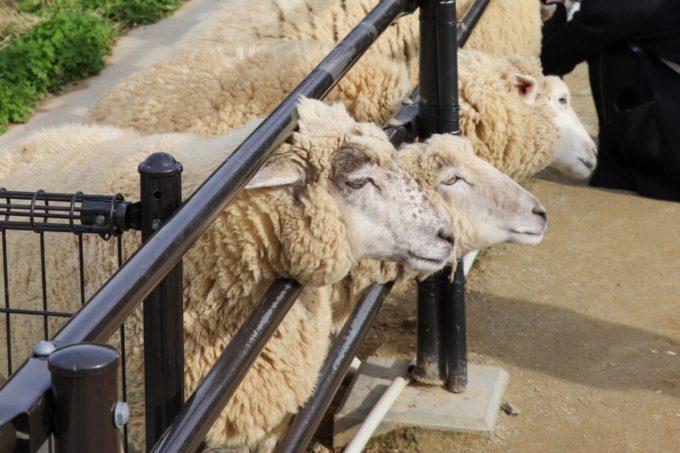 堺・緑のミュージアム ハーベストの丘の羊