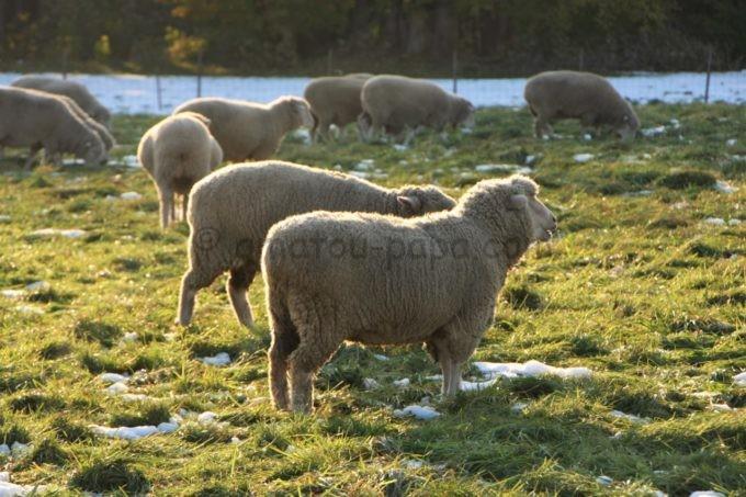 さっぽろ羊ヶ丘展望台の羊