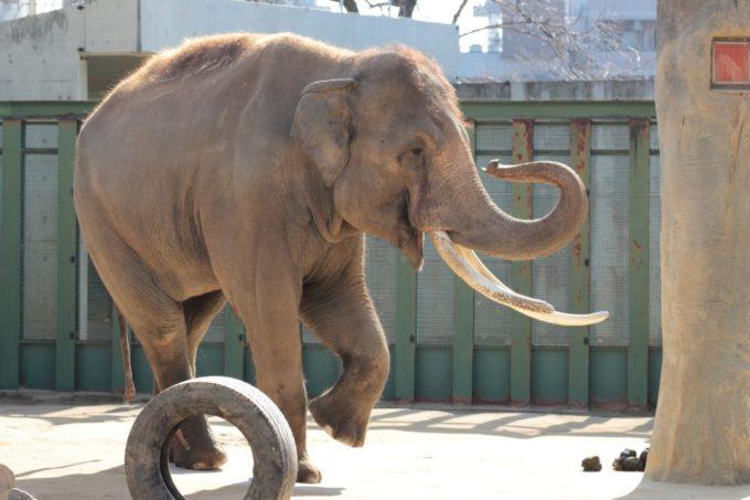 神戸市立王子動物園のゾウ