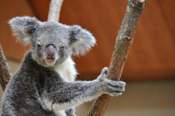 神戸市立王子動物園のコアラ