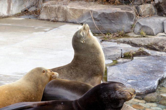 神戸市立王子動物園のアシカ