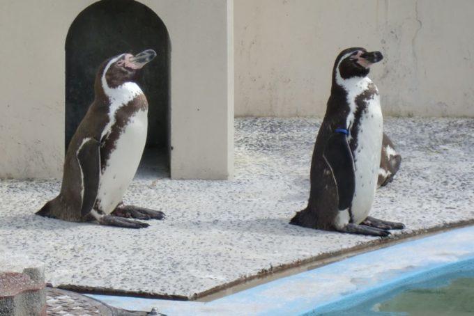 京都市動物園のペンギン