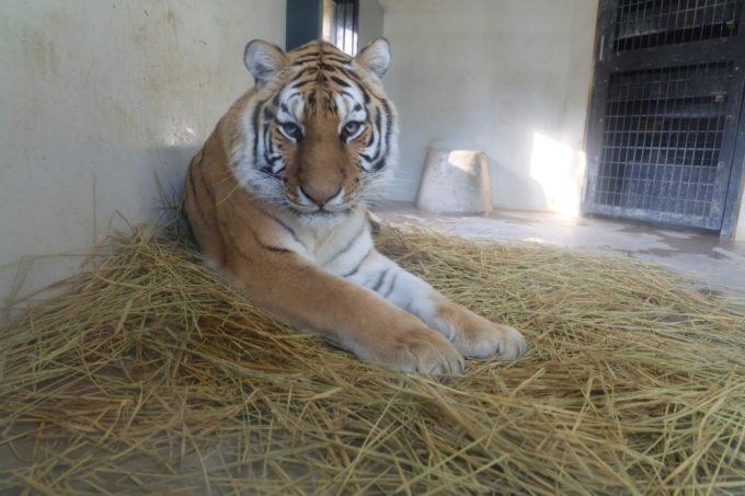 京都市動物園のトラ