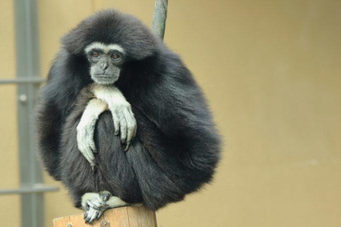 京都市動物園のシロテナガザル