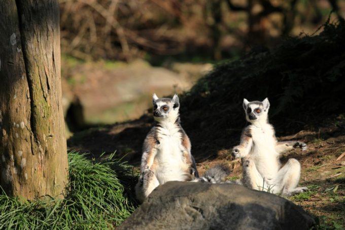 長崎バイオパークのワオキツネザル
