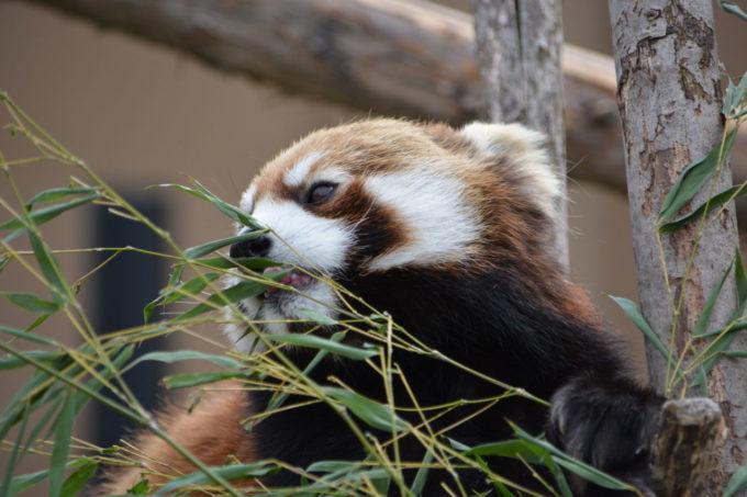 札幌市円山動物園のレッサーパンダ