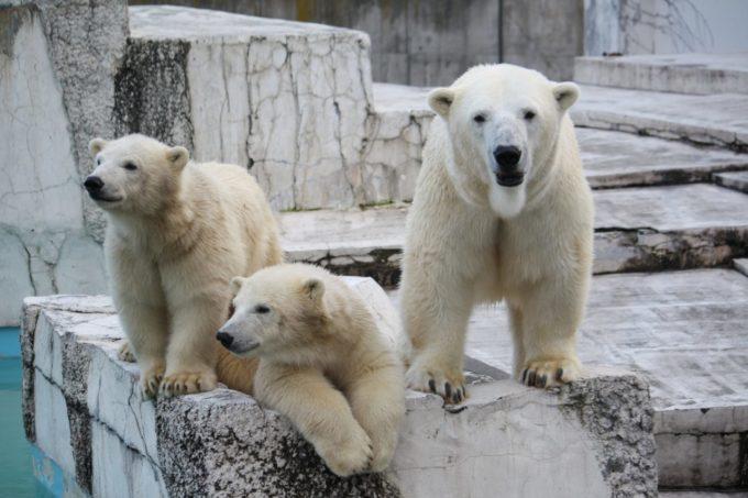 札幌市円山動物園のホッキョクグマ(白くま)