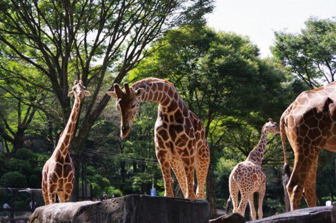 多摩動物公園のキリン