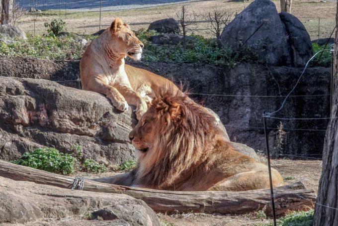 天王寺動物園のライオン