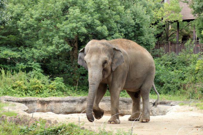 よこはま動物園ズーラシアのゾウ