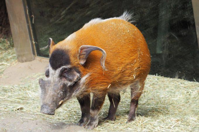 よこはま動物園ズーラシアのアカカワイノシシ