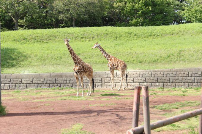 千葉市動物公園のキリン