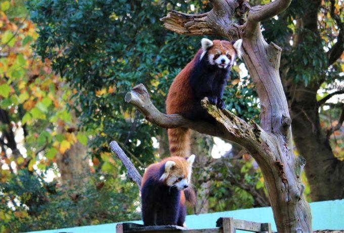 千葉市動物公園のレッサーパンダ