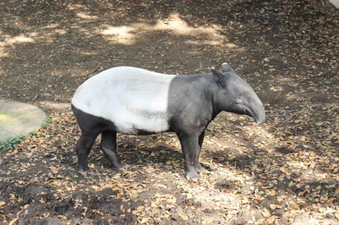 千葉市動物公園のマレーバク