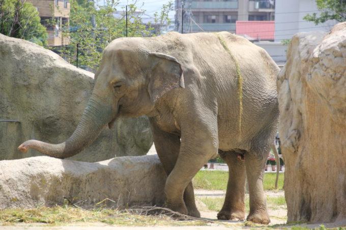 福岡市動植物園のゾウ