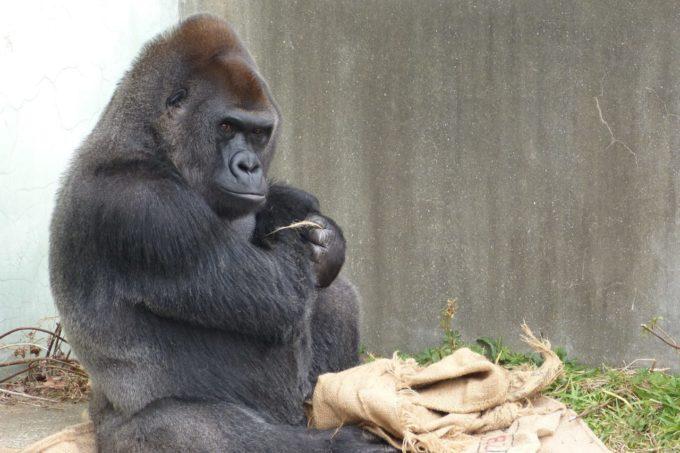福岡市動植物園のゴリラ
