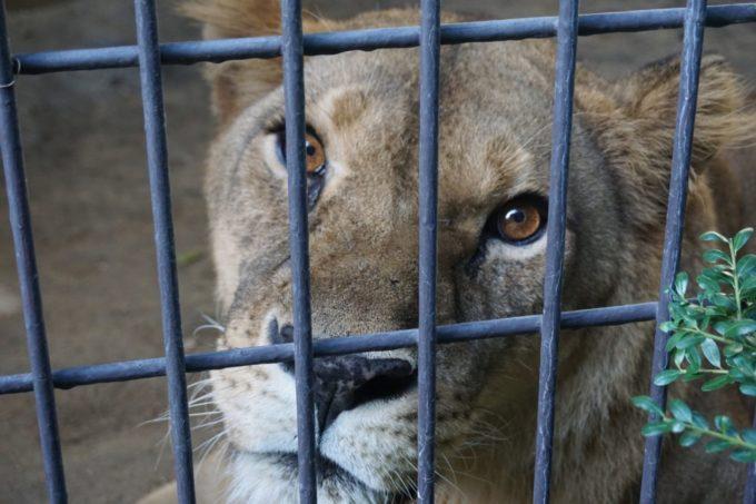 福岡市動植物園のライオン