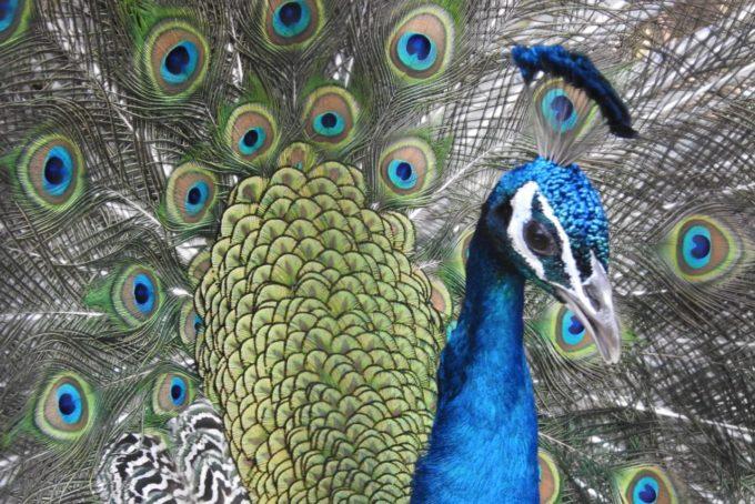 福岡市動植物園の孔雀(クジャク)