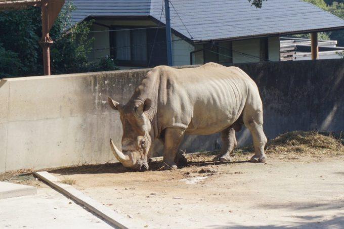 福岡市動植物園のシロサイ