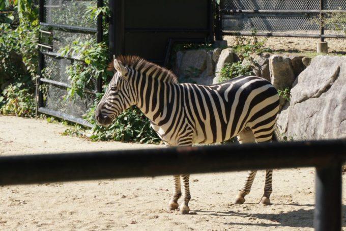 福岡市動植物園のシマウマ