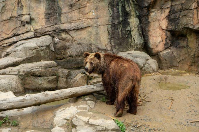 鹿児島市平川動物公園のエゾヒグマ