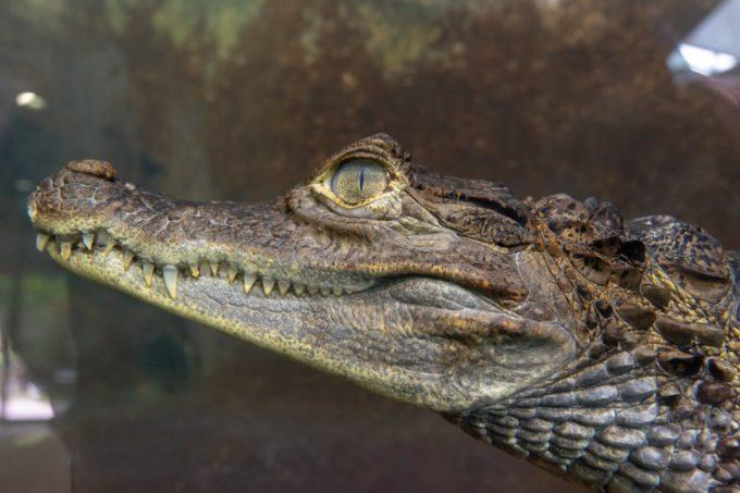 鹿児島市平川動物公園のワニ