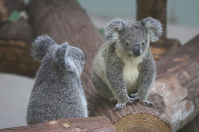 鹿児島市平川動物公園のコアラ