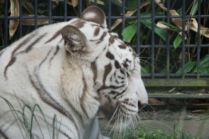 鹿児島市平川動物公園のホワイトタイガー