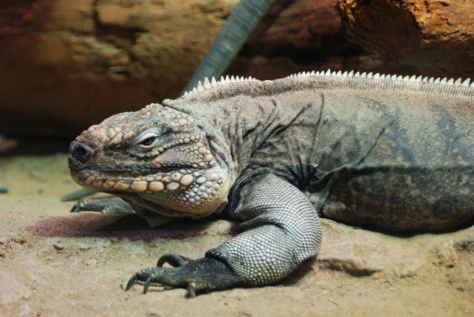 体感動物園iZoo(イズー)のイグアナ