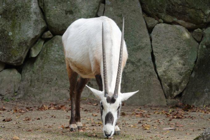 金沢動物園のアラビアオリックス