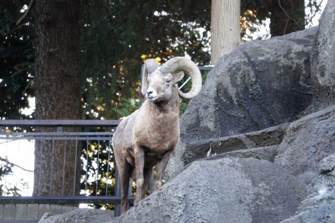 金沢動物園のオオツノヒツジ