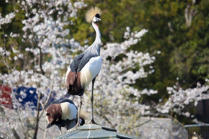 日本平動物園のホオジロカンムリヅル
