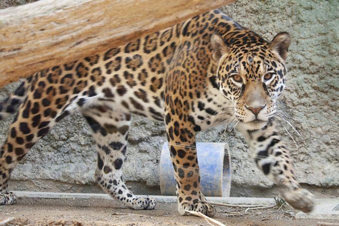 日本平動物園のジャガー