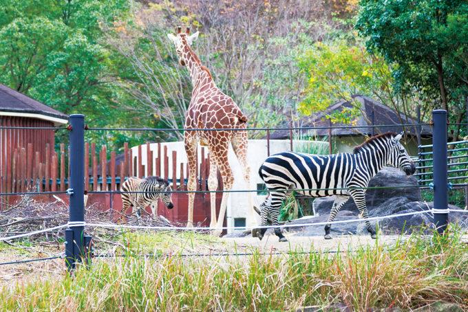 高知県立のいち動物公園のキリンとしまうま