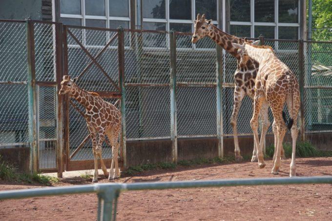 埼玉県こども動物自然公園のキリン