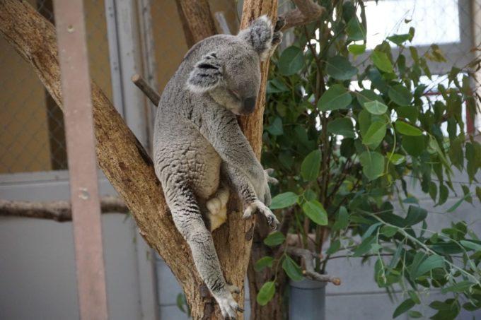 埼玉県こども動物自然公園のコアラ