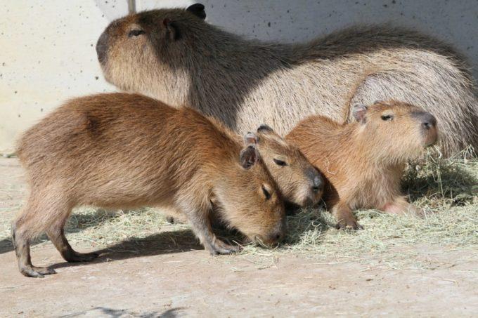 愛媛県立とべ動物園のカピバラ