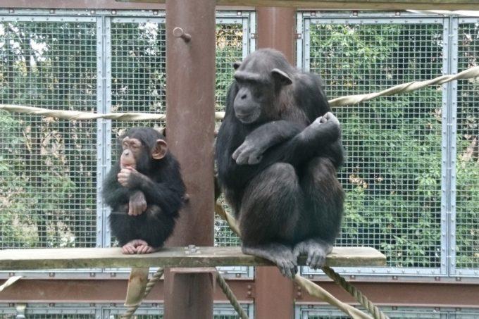 愛媛県立とべ動物園のチンパンジー