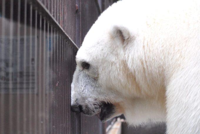 愛媛県立とべ動物園のシロクマ